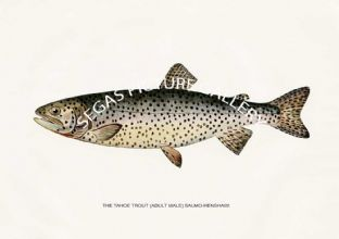 Tahoe Trout (Adult Male) Salmo-Henshawi